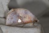 Pterogonia episcopalis