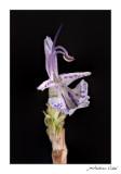 Romer (Rosmarinus officinalis)