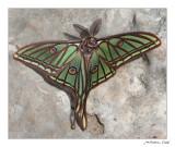 Graellsia isabela = Actias isabellae. Mascle (male). (Ports de Beseit)