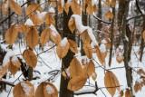 Beech Winter