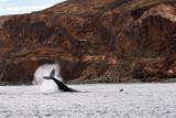 Hampback whales