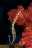 Pipefish (pregnant)
