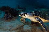 Hawksbil Sea Turtule