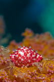 Sofy Coral Cowrie