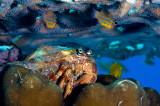 Anemone carrier hermit crab
