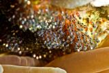 Anemone fish eggs