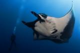 Manta Ray and Diver