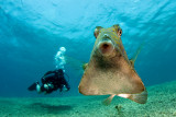 Trunkfish and Diver