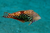 Red Sea Leopard Wrass