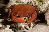 Variable coral crab
