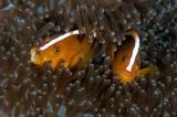 Skunk clownfish (Amphiprion akallopisos)