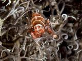 Basket Star Shrimp, Lipkemenes lanipes