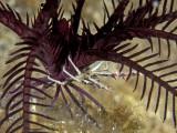 Allogalathea elegans