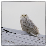 Snowy Owl Mania