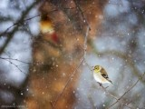 Goldfinch waiting out the blizzard