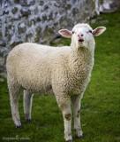 Sally's Sheep