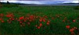 Poppy Dreams.jpg