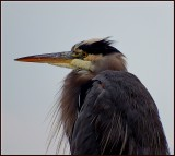 Todys Heron at the Harbour.jpg