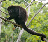 Howler Monkey next to Our House