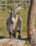 DSC01796 - Sunny, the Goat