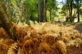 DSC05732 - Golden Ferns