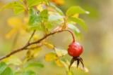 DSC05807 - Wild Rose Hip
