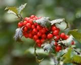 DSC06133 - Holly Berries