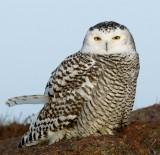 DSC06343 - Snowy Owl