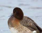 DSC08199 - Ring-Necked Duck
