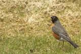 DSC09540 - Robin