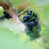 DSC04473 - Fruit of the Vine