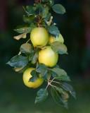 DSC04479 - God Didn't Make Little Green Apples