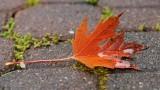 DSC04932 - Maple Leaf (not forever)