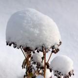 DSC06514 - Snow on the Sedum