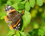 DSC02317 - Tattered Red Admiral