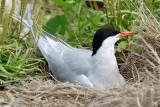 DSC06719 - Nesting Common Tern