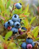 DSC07118 - Wild Blueberries