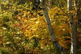 DSC07481 - Autumn Birch