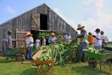 Perique Tobacco Harvest