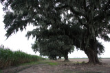 Live oaks and sugar cane fields