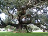 Randall oak in New Roads, LA