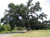 Miss Jane Pittman Live Oak in Pointe Coupee' , Louisiana