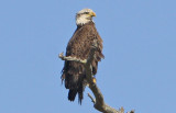 Immature Two Year Old Bald  Eagle