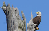 Bald Eagle taking a respite from the nest