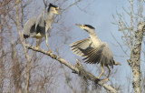 Black Crowned Herons in Breeding Colors and feathers