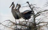 Great Blue Herons in their Fancy Dress of the Mating Season