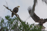 Mother Eagle Teaching her Lone Eaglet to Fly