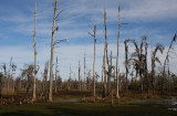 Disappearance of Cypress Trees