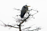 Great Blue Heron on a Cold, Grey Day