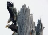 Eagle Life